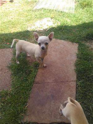 Pocket size Chihuahua