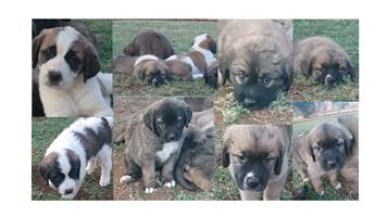 St Bernard/Leonberger Puppies for sale