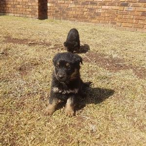 8 week old German Shepherd puppies