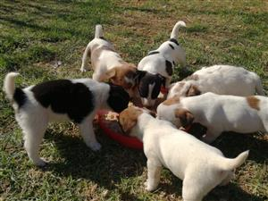Jack Russel crossed Fox Terrier Puppies