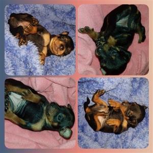 Miniature Pincher Puppies(Bok Hondjies)