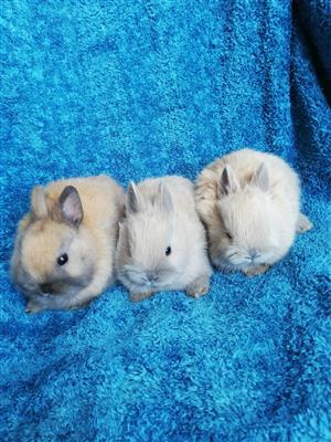 Netherland dwarf Rabbits.