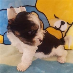 Biewer male available