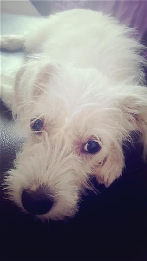 Maltese puppies-4 months