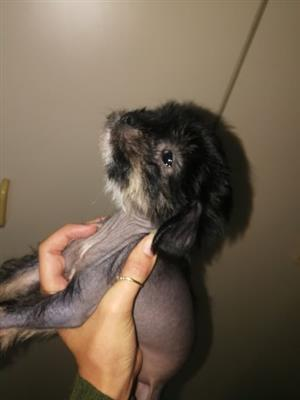 Chinese crested hairless females