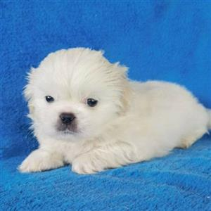 Gorgeous minature pekingese puppies for sale.