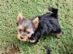 Adorable Miniature size Yorkie puppies