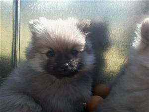 Pomeranian (Toypom) puppies for sale