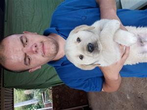 White male labrador puppy for sale