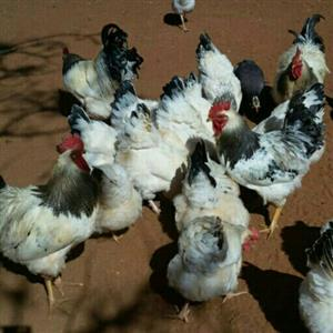 Sussex Chickens  for sale