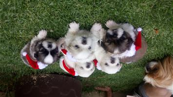 Pekingnese pups available