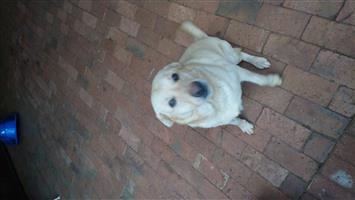 Loving Labrador looking for home