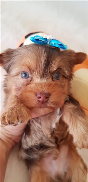 Chocolate Merle Yorkshire terrier boy