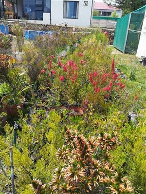 Fynbos plants - Ericas