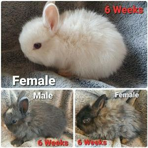 Dwarf Angora Bunnies Rabbits