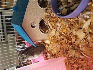 Two dwarf hamster boys