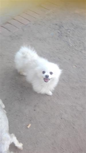 2 Year old white Toypom male