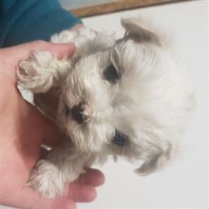 maltese female pups x 2