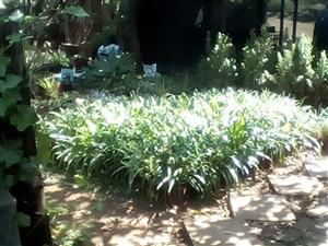 Acapanthus for sale. R 20 per plant plant. WHOLESALE PRICE.