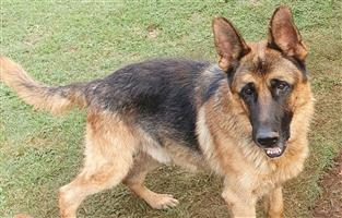 6 year old German Shepherd male with excellent pedigree. Great temperament.