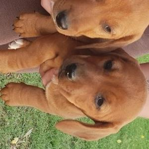 caramel dachshund puppies