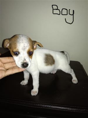 Short Leg Jack Russell Puppies (Pure Breed)