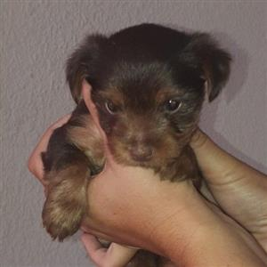 Beautiful chocolate yorkie females
