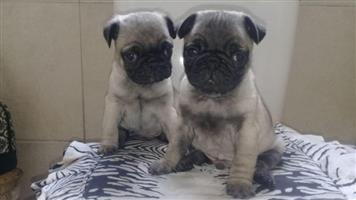 Beautiful affordable For Sale Pug Puppies