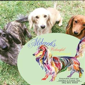 Colorful Miniature longhair Dachshund puppies