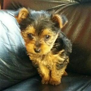 Teacup yorkie girl
