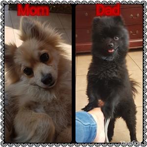 Toypom Pups