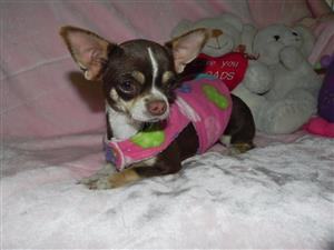Applehead small type chihuahua puppy